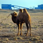 Baby camel near the Oyu Tolgoi Mine
