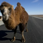 Camel testing out new road near the Oyu Tolgoi Mine