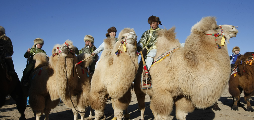 Preparing for camel polo in the Gobi Desert
